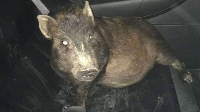 Свиня в авто