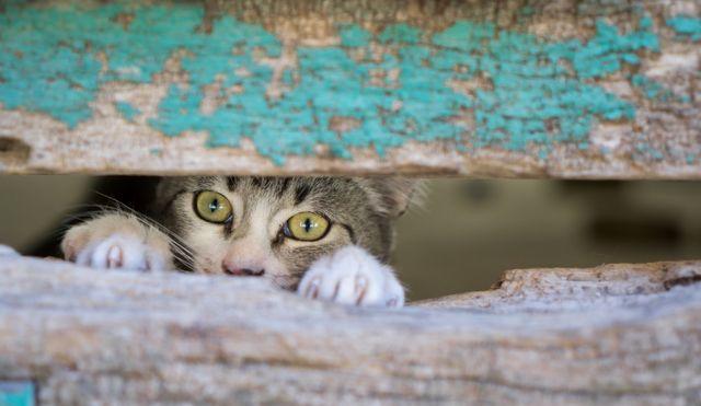 mačka gleda kroz drvenu ogradu