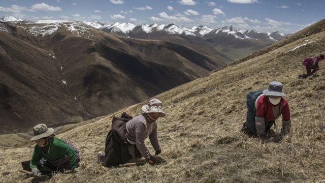 """ผู้เก็บถั่งเช่าในแถบเทือกเขาหิมาลัยมีอยู่หลายแสนคน โดยมีคนต่างถิ่นหลั่งไหลเข้ามา """"ขุดทอง"""" กันมากขึ้น"""