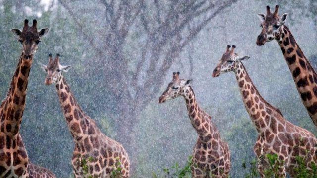 Жираф как символ эволюции?