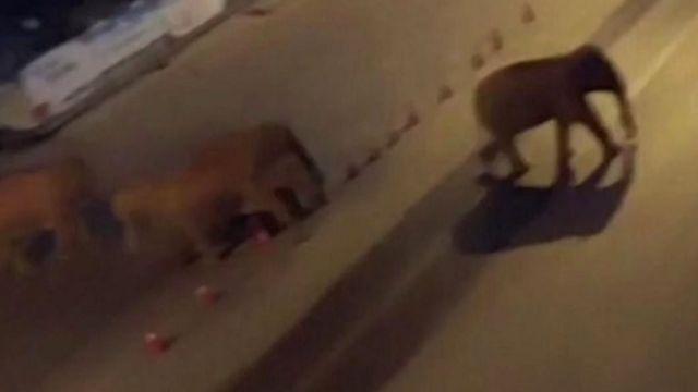 画面显示,这些亚洲象穿越了多个城镇,在马路上跋涉。.