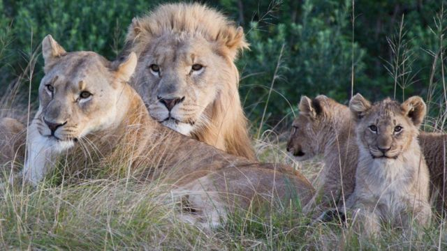 희생된 밀렵꾼은 사자 무리에 포위된 것으로 추정된다