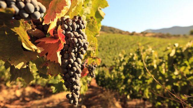 Una uva en un viñedo chileno