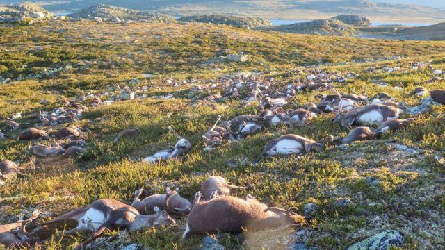 Decenas de cadáveres de renos muertos en Noruega