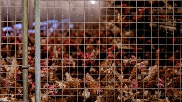 Hollanda'daki kanatlı hayvan çiftliklerinde geçen yıl 500 binden fazla tavuk itlaf edildi.