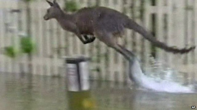 Kangaroo jumping through floodwaters in the Australian town of St George's Basin, NSW