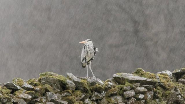 Цапля под дождем