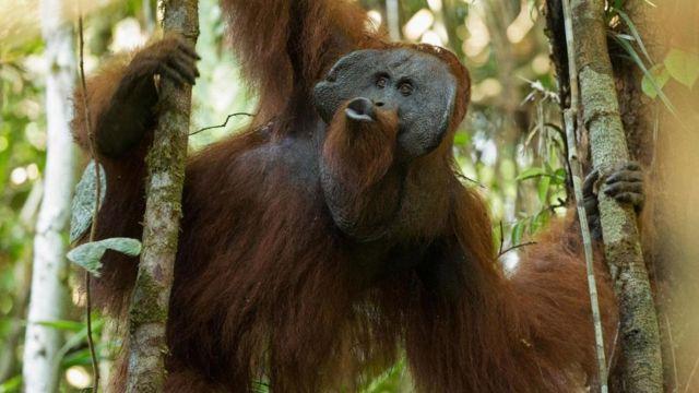 Un orangután