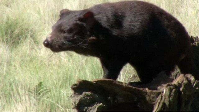 A healthy Tasmanian Devil