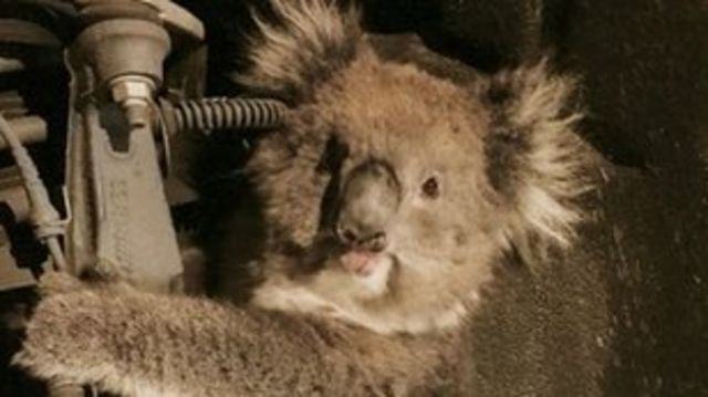 Koala kurtarma