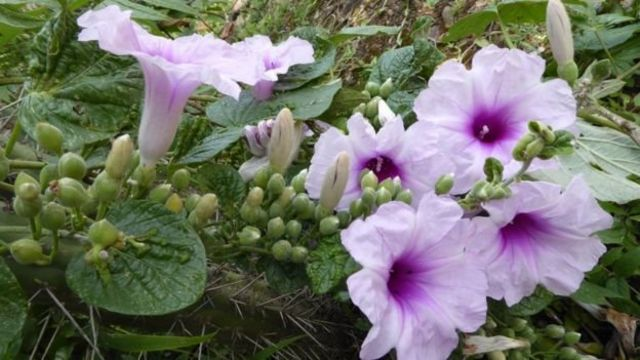 Một giống hoa màu tím được các nhà khoa học tìm ra trong một thung lũng tại Bolivia