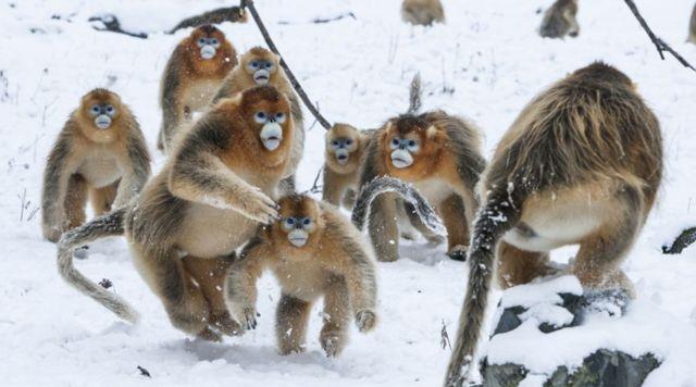 बर्फ़ीले बंदर