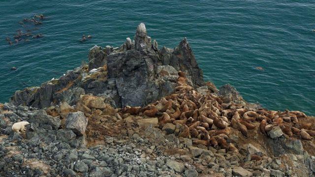 海邊岩石上的海象群
