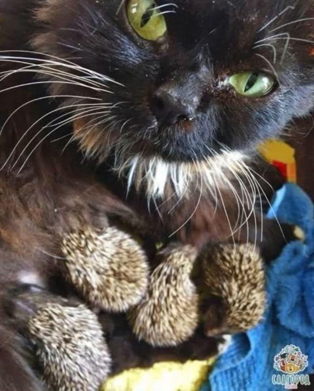 แม่แมวมุสกาไม่กลัวขนเม่นแหลม แต่ส่งเสียงขู่บ้างเวลาโดนขนเม่นตำ