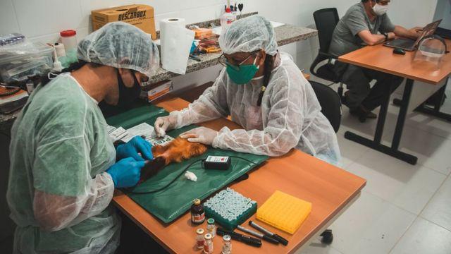 Macaco sedado sendo examinado antes de receber a vacina