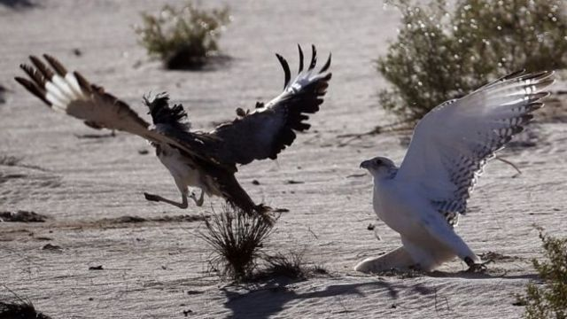 هوبره -Houbara bustards (left) are also used in falconry competitions in the Middle East