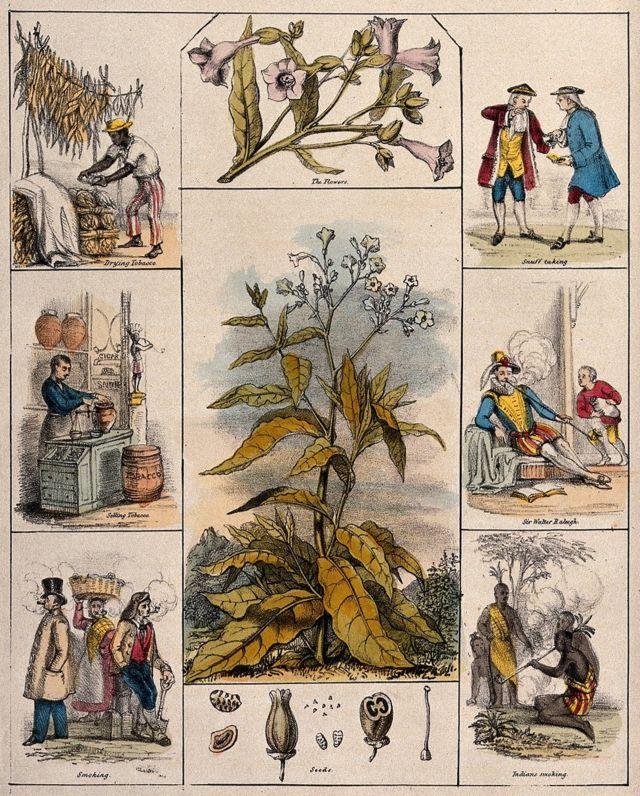 Çiçekler, tohumlar, tütün kurutma, tütün satışı, sigara içme, enfiye alma, Sir Walter Raleigh, Kızılderililer sigara ile çevrili 1840 dolaylarında tütün bitkisinin bir illüstrasyonu