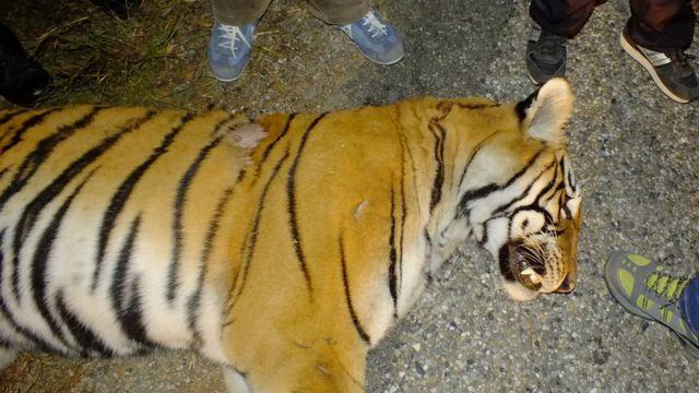 गत पुषमा बर्दिया निकुञ्जभित्र राजमार्गमा सवारीको ठक्करपछि मरेको एक बाघ