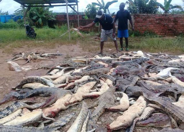 Dois homens observam de perto vários crocodilos mortos