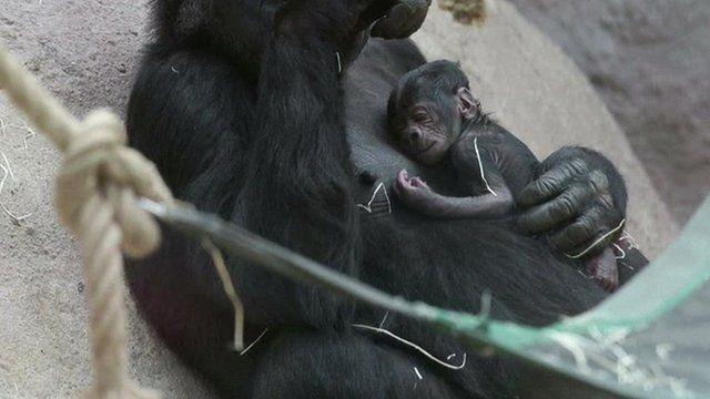 Baby gorilla at Prague Zoo