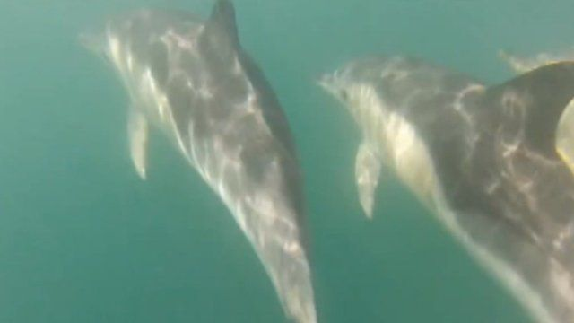 Dolphins at Cardigan Bay