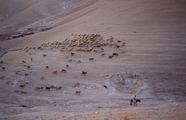 راعٍ وقطيع أغنامه في الصحراء قرب أريحا