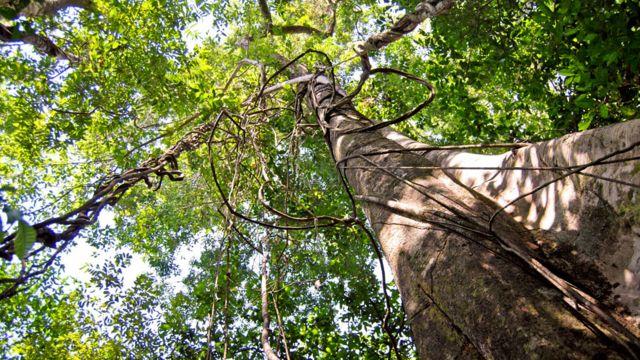 Árbol en la Amazonía
