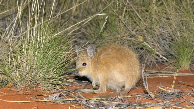 Малі жмутохвості кенгуру - один із видів, яким загрожують здичавілі коти