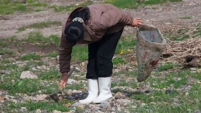 North Korean woman collecting grass to eat in a field, North Hamgyong Province, Jung Pyong Ri, North Korea on May 7, 2010 in Jung Pyong Ri, North Korea.