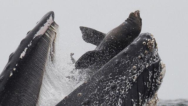 La ballena con el león marino en su boca.