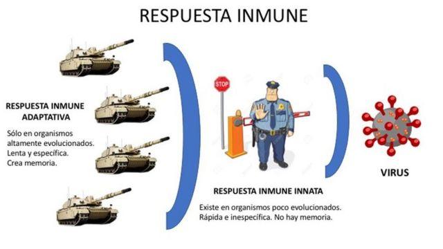 Figura 3. Representación de la respuesta inmune innata y adpatativa.
