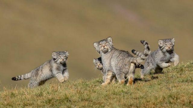 جماعة من صغار قطط البالاس