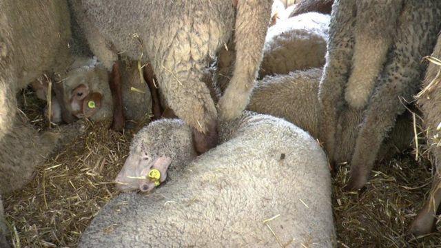sıcaktan tükenmiş koyunlar