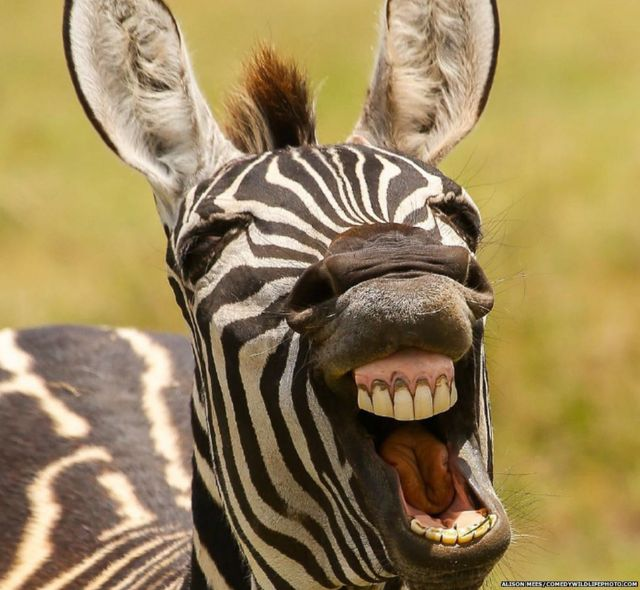 A laughing zebra