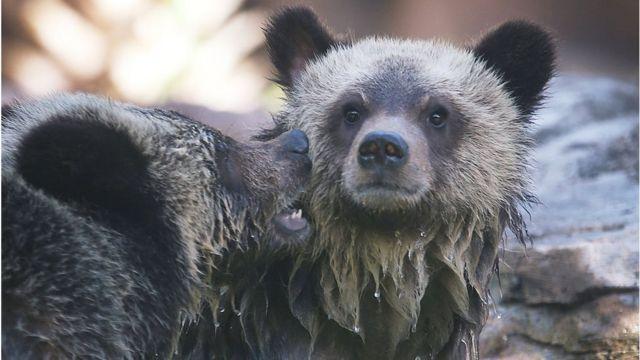 オバマ前政権はアラスカ州の国立公園内にあるクマの巣で子グマを撃ち殺すことを禁止していた