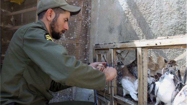"""تمامی این """"کبوترهای موادبر"""" هم اکنون در اختیار نیروی انتظامی استان کرمانشاه است."""