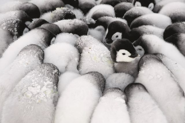 Baby penguins huddle together