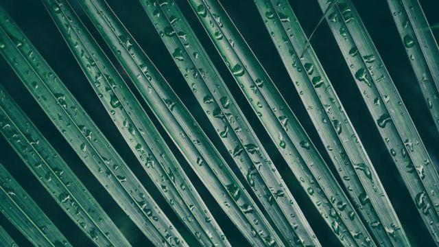 Gotas de agua sobre hojas de palmera.