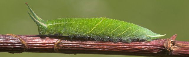 Purple Emperor caterpillar