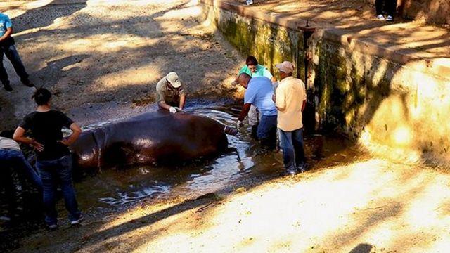 Gustavito es atendido por veterinarios.