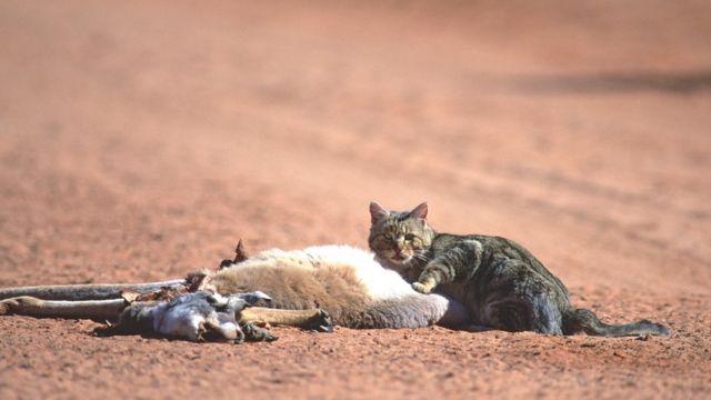 Gato selvagem come caça na Austrália