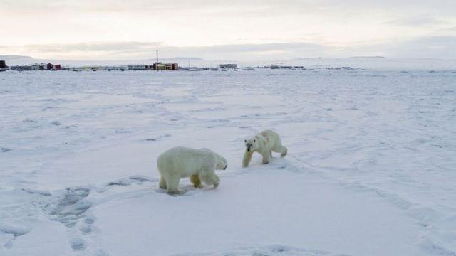 Dva polarna medveda