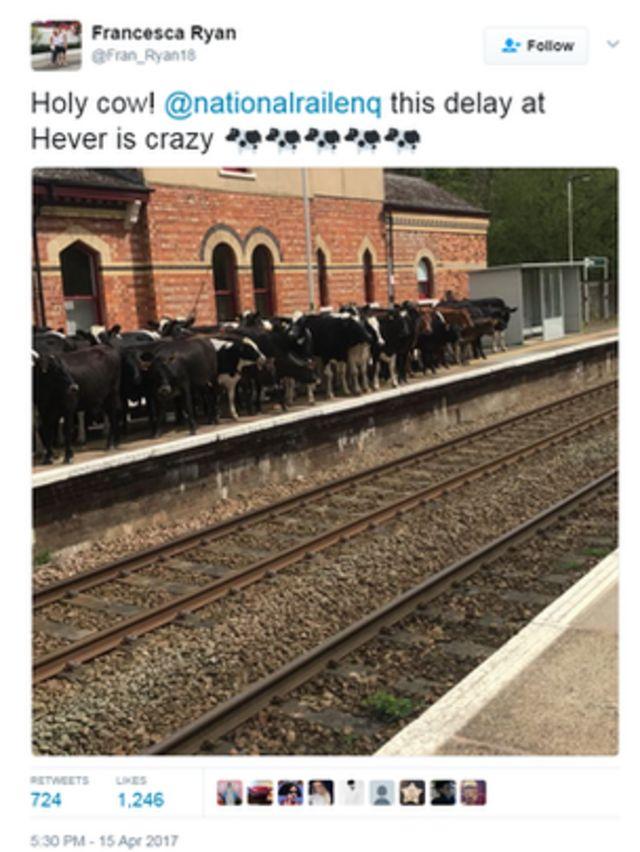 इंग्लैंड के हेवर स्टेशन के प्लेटफॉर्म पर पहुंचा गायों का झुंड