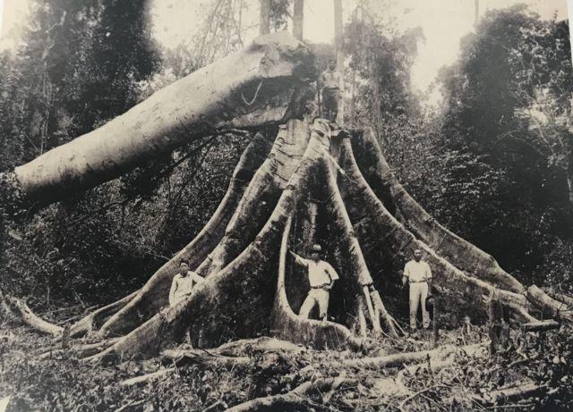 Imigrantes japoneses derrubam árvore centenária no interior de São Paulo