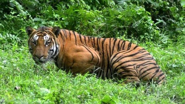 Kraljevski bengalski tigar u džungli u Kaziranga nacionalnom parku, istočno od Guvaratija