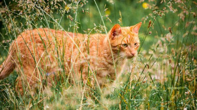 Рыжий кот стреди травы