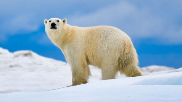 Oso polar en la Isla Wrangel