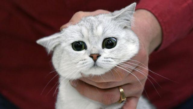 گربه خانگی