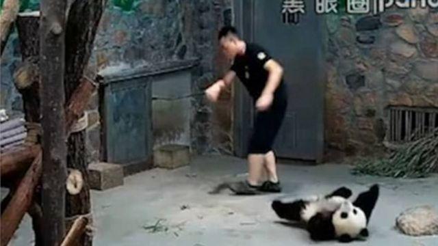 スキャンダルの渦中にいるパンダ飼育係は赤ちゃんパンダが暴力的だったと弁解した