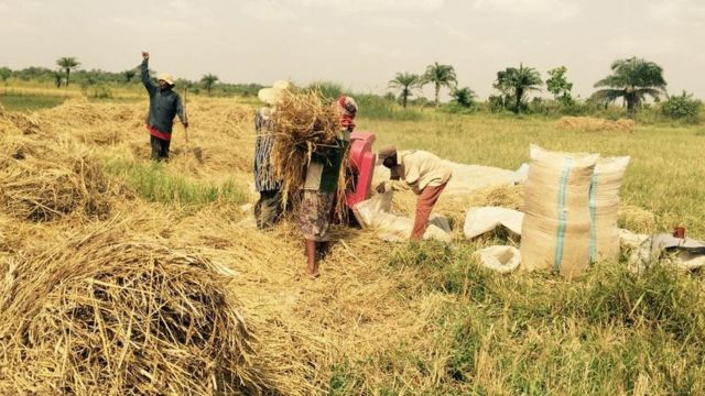 Noman shinkafa a Nigeria